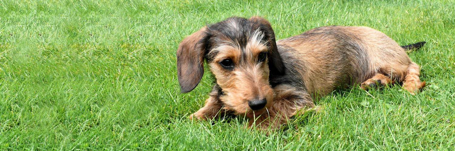 A Dachshund at Lodge Farm Boarding Kennels in York